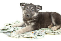 Buying a Puppy? Royalty Free Stock Photos