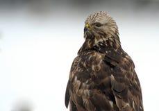 buzard Áspero-legged (lagopus del Buteo) imagen de archivo libre de regalías