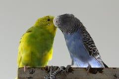Buziak faliste papugi Mali ptaki dotykali each other&-x27; s belfrzy obrazy royalty free
