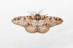 Buzura (America) recursaria moth Stock Photo