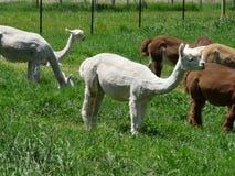 Buzz Cuts. Newly shorn Alpacas grazing in a grassy field stock photo