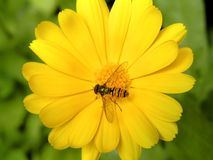 Buzz fly sitting on yellow marigold. Ideal for poster postcard or calandar Royalty Free Stock Image