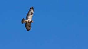 Buzzard в полете Стоковые Изображения RF