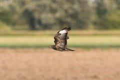 Buzzard в полете Стоковые Изображения