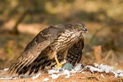 buzzard есть prey стоковые изображения