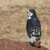 buzzard прорицателя Стоковая Фотография RF