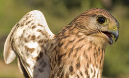 Buzzard. Close-up of a bird of prey Royalty Free Stock Photos