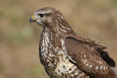 Buzzard. Posing between two meals Royalty Free Stock Photos
