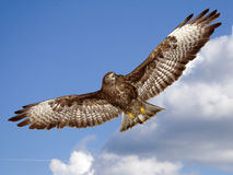 Buzzard Stock Image