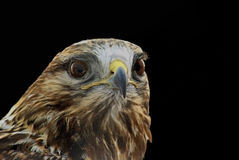 Buzzard. Portrait of Eurasian Buzzard (Buteo Buteo) isolated on black Stock Photos