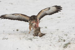 Buzzard. With prey in the snow Stock Photo