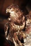 buzzard Стоковая Фотография RF
