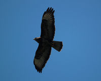 Buzzard. On blue sky (Buteo buteo Stock Image