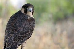 buzzard Стоковые Изображения
