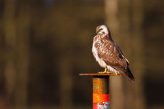 Buzzard Stock Images