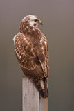 buzzard Стоковые Изображения RF