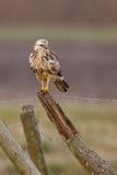 buzzard Стоковое Фото