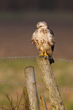 Buzzard Foto de Stock
