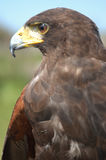 Buzzard Photo libre de droits