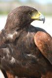 buzzard стоковое изображение rf