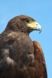 Buzzard Stock Photo