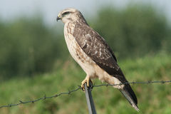 Buzzard Royalty Free Stock Image