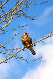 Buzzard Stock Photography