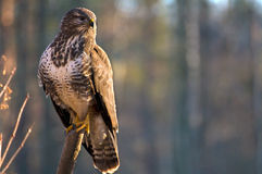 Buzzard Royalty Free Stock Photos