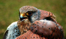 Buzzard. A close-up of a buzzard Royalty Free Stock Images