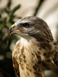 The buzzard. Portrait of a buzzard bird of prey Royalty Free Stock Photos