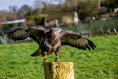Buzzard. Perched on a stump Stock Image