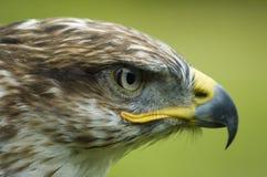 buzzard Стоковое Изображение