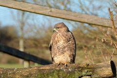 buzzard Fotografia de Stock Royalty Free