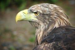 buzzard Immagine Stock Libera da Diritti