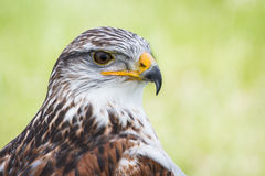 Buzzard Photographie stock