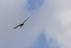buzzard Fotografia de Stock Royalty Free