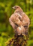 buzzard Immagini Stock