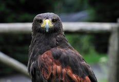 buzzard Imagens de Stock