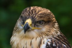 buzzard Стоковые Фотографии RF