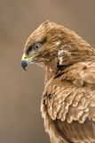 Buzzard. Portrait with brown background Royalty Free Stock Photo