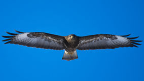 Buzzard in the air Stock Images