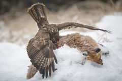 Buzzard, balancing as he consumes a fox Stock Images