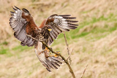 Buzzard bird Stock Images