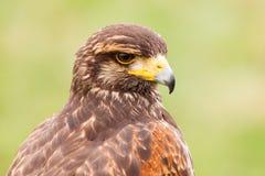 Buzzard bird Stock Photography