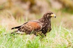 Buzzard bird Royalty Free Stock Photos