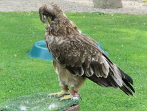 Buzzard Royalty Free Stock Images
