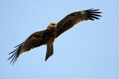 Buzzard on blue sky Royalty Free Stock Photography