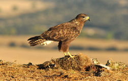 Buzzard boarded up their prey in the field Royalty Free Stock Photo