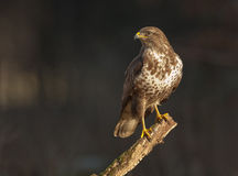 Buzzard on a branch. Common buzzard on a branch with moss Royalty Free Stock Photography
