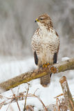 Buzzard on a branch Royalty Free Stock Photos